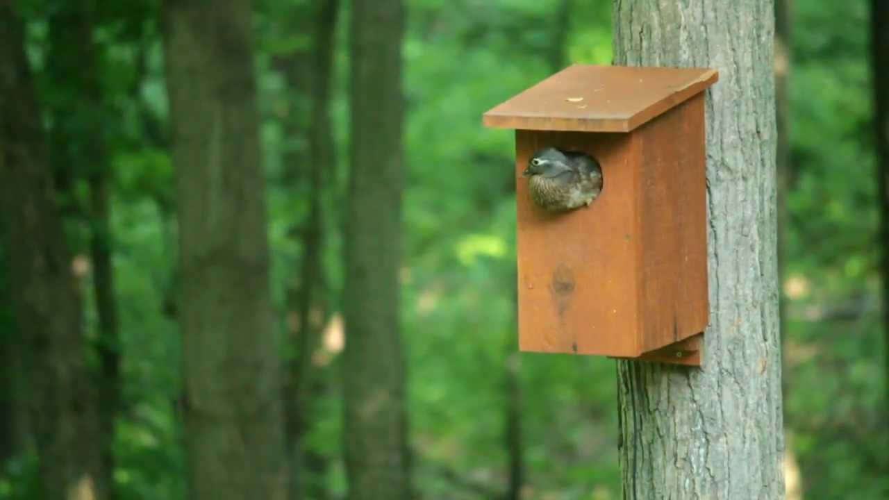 Wood Ducks leaving nest box -- Must see!! - YouTube