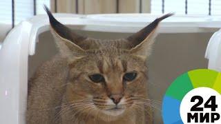 В Аптекарском огороде МГУ поселились редкие кошки - МИР 24