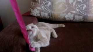 Шотландская вислоухая кошка 4 месяца