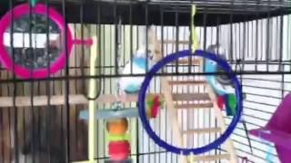 How to tell if your budgie is pregnant