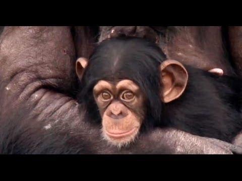Chimps:  A New Life, Retirement