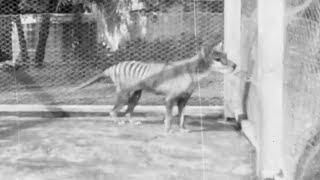 Australia, rinvenuto un vecchio filmato di Benjamin: l'ultima tigre della Tasmania