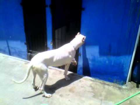 anjing dogo bernama HERO VON BLUE EYES