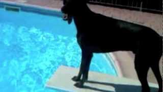 Doberman In Pool And Jumping Fences