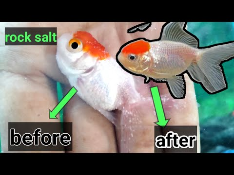 Gold Fish Red Cap White Spot Recover In 2 Days