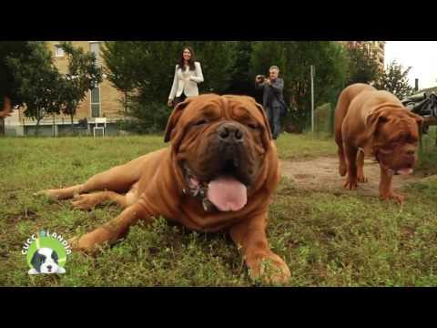 Intervista sul Dogue De Bordeaux   Amici Animali Tv