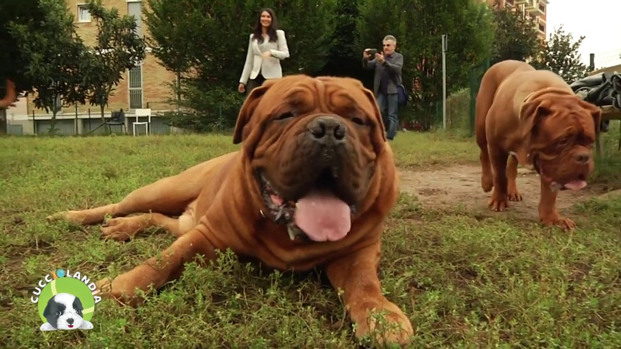 Intervista Sul Dogue De Bordeaux Amici Animali Tv Youtube