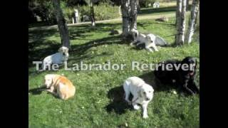The Labrador Retriever Breed