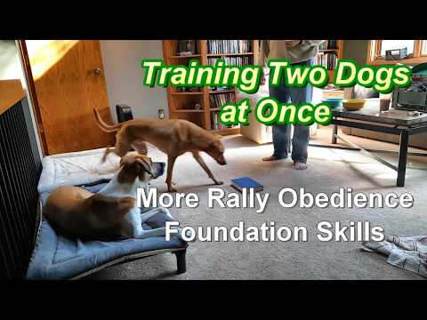 Training 2 Dogs at Once - More Rally-O Foundation Skills