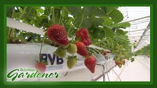 Strawberry Greenhouse Production   Volunteer Gardener