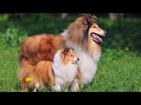 Шотландская Овчарка Колли - Одна из самых добрых и умных пород собак в мире.