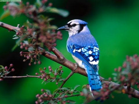 Blue Jay Birds Singing In The Forest