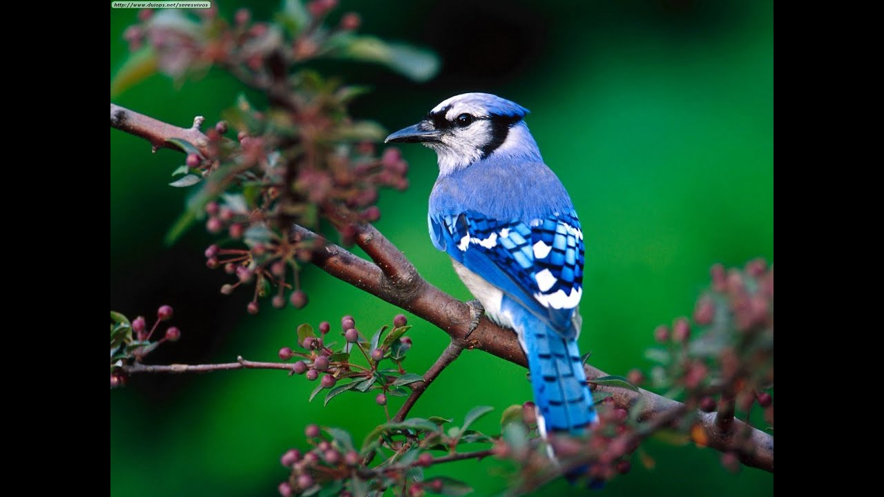 Blue Jay Birds Singing In The Forest - YouTube