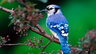 Blue Jay Birds Singing In The Forrest