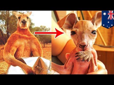 Альфа-самец кенгуру – самый красивый мужчина в Брисбене!