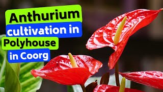 Anthurium cultivation in Polyhouse in Coorg