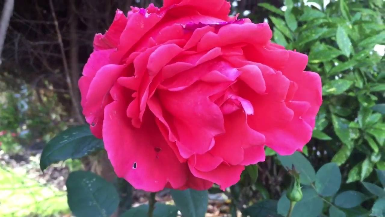 Giant Pink Rose Flower Blooming In Garden Rose Roses Pinkrose