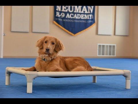 Leo (Duck Tolling Retriever) Boot Camp Dog Training Video Demonstration