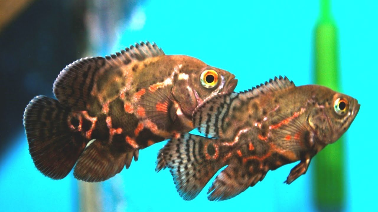 Tiger oscar fish tank cichlid youtube for Pictures of oscar fish