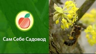 Как пчелы опыляют кизил