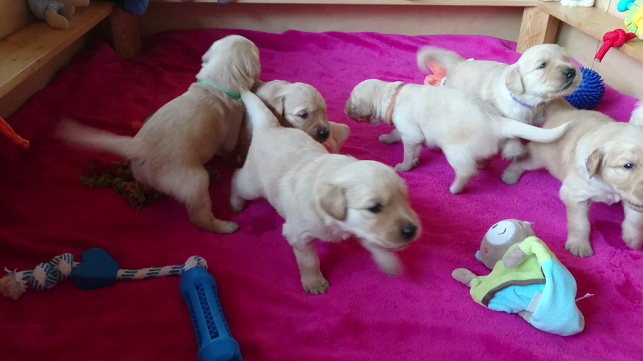 Golden Retriever Welpen 3 Wochen Alt Golden Retriever Puppies