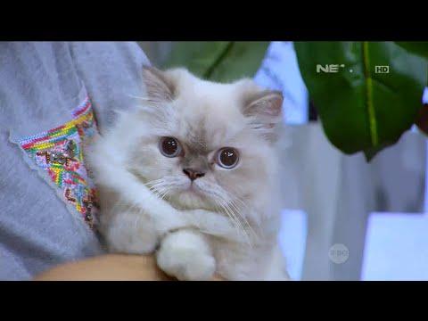 Level Gemas Kucing Himalayan Persian Ini Tak Terhingga