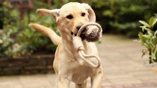 Labrador/retriever 19 Weeks - World Animal Day