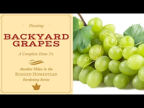 Growing Grapes in the Backyard