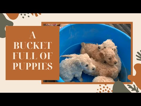 A BUCKET FULL OF PUPPIES - GOLDENDOODLES - MAKE A MESS