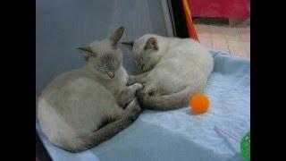 Как тайский котенок делает массаж маме кошке! Улётное видео! Тайские кошки - это чудо! Funny Cats