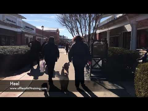 11 Months Golden Retriever, Cooper   Golden Retriever Dog Trainers   Golden Retriever Training
