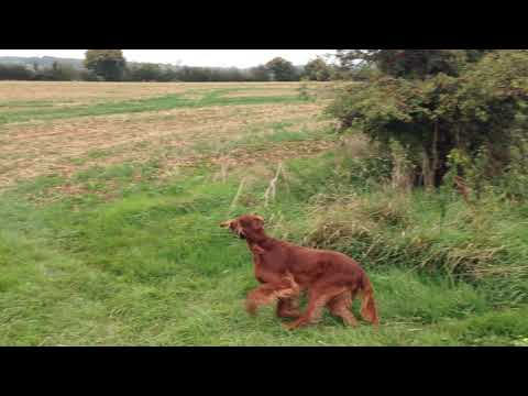 Irish Setter Honey Hunting Pheasant