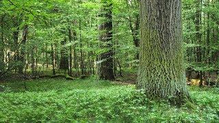 Las Natoliński - mgnienie prastarej puszczy