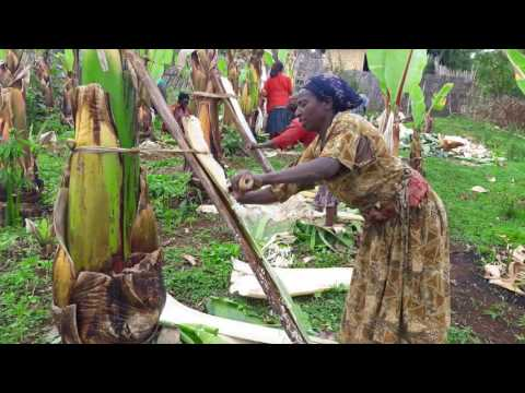 Traditional Enset Processing Practices  in Gamo Highlands of Ethiopia