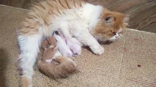 Persian Cat Gave Birth to 4 Kittens 😍😻