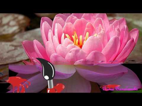 Лотос. Виды и сорта лотоса - Садовые цветы и растения