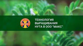 Семена нута  от ООО «МАКС»