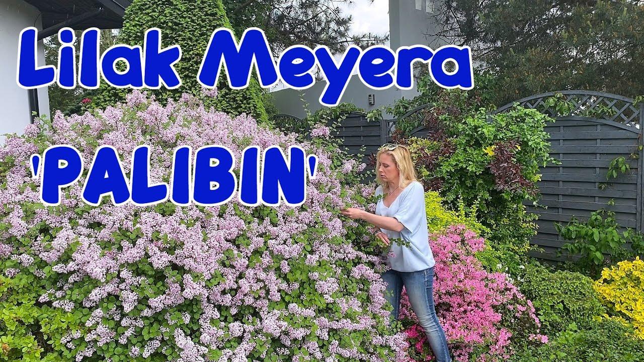 Download Lilak Meyera 'Palibin' - wymagania, pielęgnacja i zalety tego cudnego krzewu