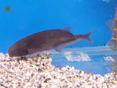 Freshwater dolphin fish youtube for Freshwater dolphin fish