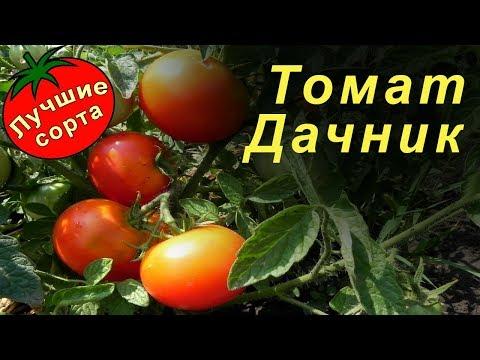 Томат Дачник (Лучшие сорта томатов)