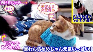 <2匹の猫通信>「ほっこりライブ」暴れん坊めめちゃん元気いっぱい!逃げるハッチにロケット攻撃! 2019 12 08 - Cat Live Stream in Japan - Cat Life TV