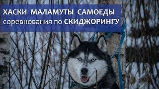 Хаски, маламуты, самоеды: соревнования по скиджорингу (лыжная гонка с собакой)
