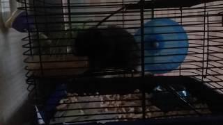 Мой Ангорский черный хомячок!!! 🐁🐁