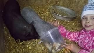 Совместный сарай для животных//127 голов в маленьком сарае//Маленький фермер