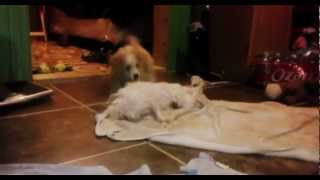 Playtime After Bath Time Maltese & Bichonoodle