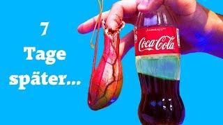 Fleischfressende Pflanze mit Coca Cola gefüttert - 7 Tage später Experiment