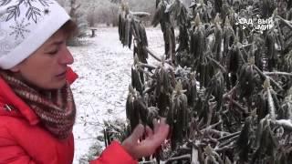 Вечнозеленые рододендроны зимой.Почему скрутились листья