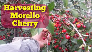 Harvesting First Morello Cherry Of 2017