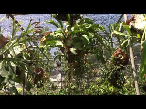 เดินชมชายผ้าสีดาไม้สะสม Platycerium fern collecter