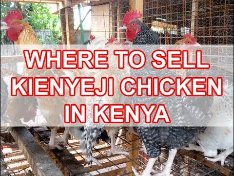 Poultry Farming in Kenya Kienyeji Chicken Kari Improved